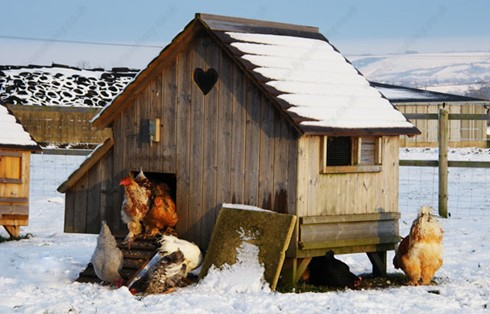 Winter-care-for-chickens-1
