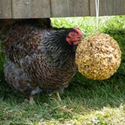 Winter-care-for-chickens-11