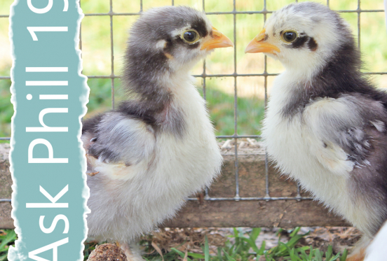 Ask Phill 19 - Introducing New Chickens to your Flock