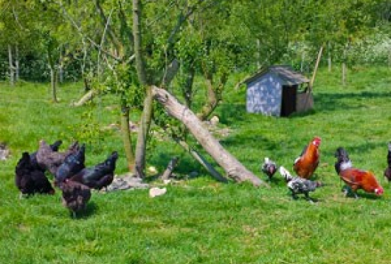 Choosing Your Chickens