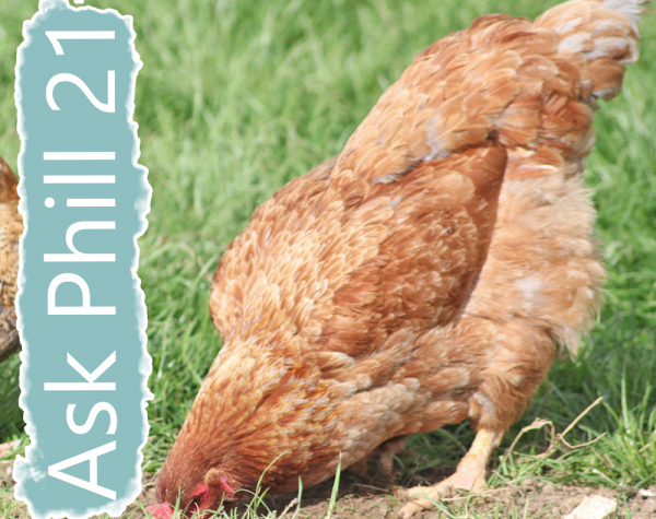 Ask Phill 21 - How to deal with with egg eating hens