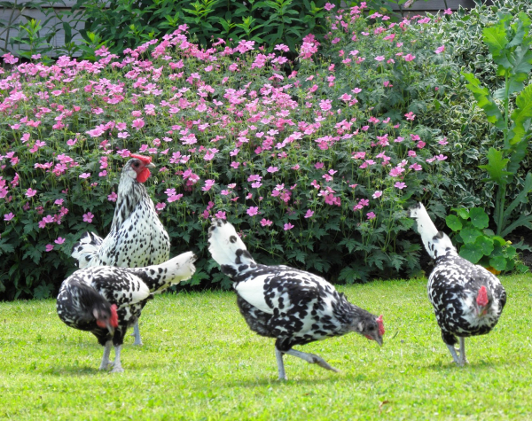 What Should I Avoid Feeding My Chickens?