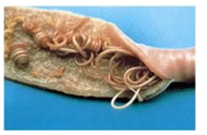 Roundworm in Chickens